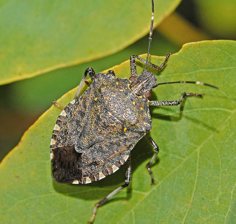 Kahverengi Kokarca Böceği İlaçlama